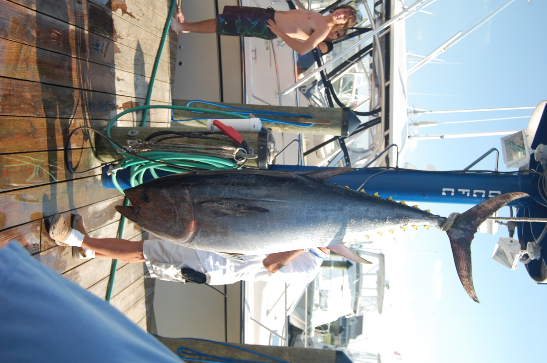 Tuna ocean city maryland sportfishing offshore fishing for Ocean city deep sea fishing