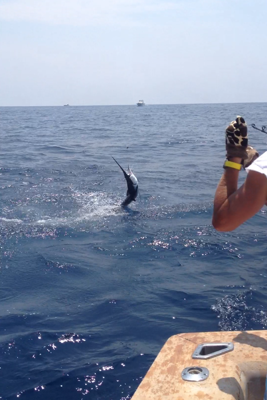 1 blue marlin 2 white marlin ocean city maryland for Ocean city deep sea fishing